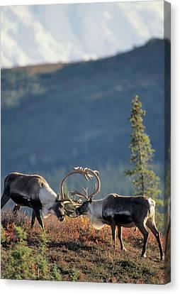Usa, Alaska, Bull Caribou, Mount Canvas Print by Gerry Reynolds