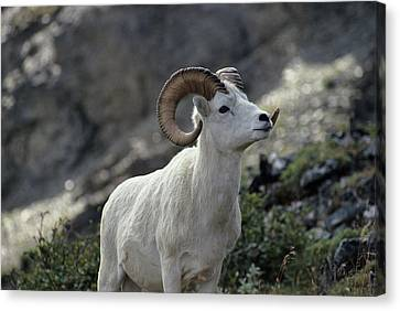 Gerry Canvas Print - Usa, Alaska, Dall Sheep, Dall Ram by Gerry Reynolds