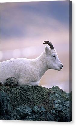 Usa, Alaska, Dall Sheep, Ewe, Denali Canvas Print