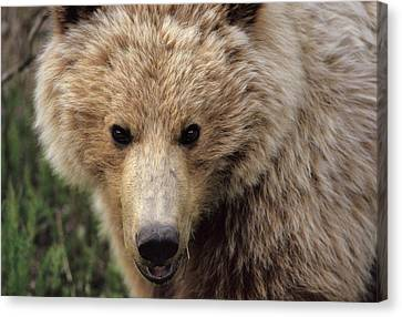 Gerry Canvas Print - Usa, Alaska, Grizzly Bear, Denali by Gerry Reynolds