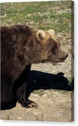 Usa, Alaska, Grizzly Bear, The Alaska Canvas Print by Gerry Reynolds