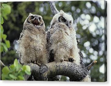 Usa, Alaska, Juvenile Great Horned Owl Canvas Print by Gerry Reynolds