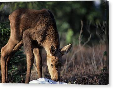 Gerry Canvas Print - Usa, Alaska, Moose Calf, Denali by Gerry Reynolds
