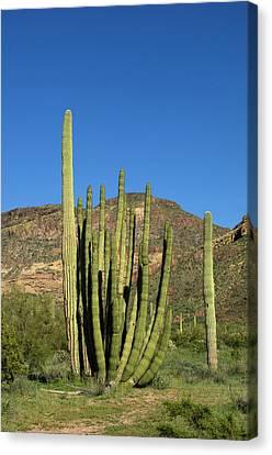 Usa, Arizona, Ajo, Organ Pipe Cactus Canvas Print