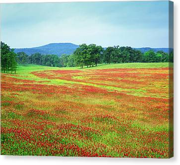 Usa, Arkansas Blooming Scarlet Clover Canvas Print