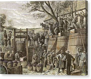 Usa. California. 19th Century. Chinese Workers Treading Grapes. Engraving Canvas Print by Bridgeman Images