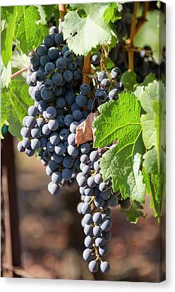 Usa, California, Napa Valley Wine Canvas Print by Cindy Miller Hopkins