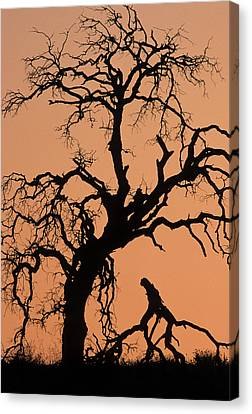 Reynolds Canvas Print - Usa, California, Oak Tree, Sunset by Gerry Reynolds