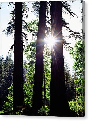 Usa, California Old-growth Red Fir Canvas Print by Jaynes Gallery