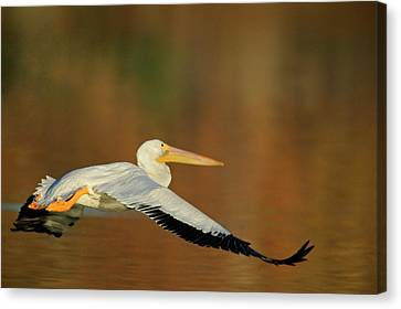 Flying White Pelicans Canvas Print - Usa, California, Santee Lakes Park by Jaynes Gallery