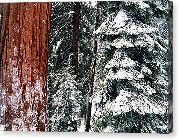 Giant Sequoia Canvas Print - Usa, California, Sequoia National Park by Inger Hogstrom