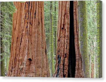 Giant Sequoia Canvas Print - Usa, California, Sequoia National Park by Jaynes Gallery