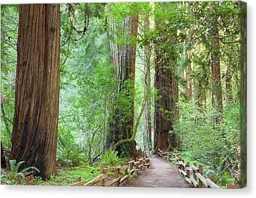 Usa, California Trail Through Muir Canvas Print
