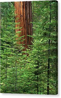 Usa, California, Yosemite National Park Canvas Print by Ann Collins