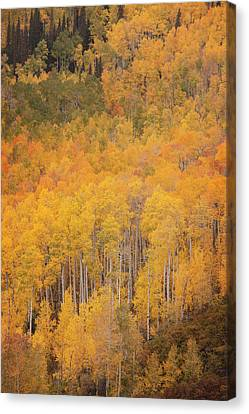 Populus Tremuloides Canvas Print - Usa, Colorado, Gunnison National Forest by Jaynes Gallery