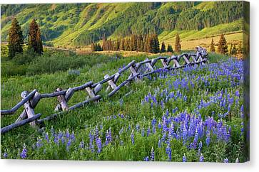 Usa, Colorado Lupines And Split Rail Canvas Print