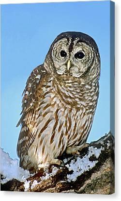 Usa, Colorado Portrait Of Barred Owl Canvas Print