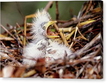 Usa, Florida Baby Cattle Egret In Nest Canvas Print by Jaynes Gallery