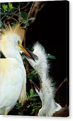 Usa, Florida Cattle Egret Feeds One Canvas Print by Jaynes Gallery