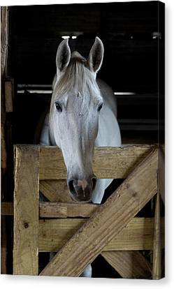 Usa, Florida Close-up Of Horse Peering Canvas Print by Jaynes Gallery