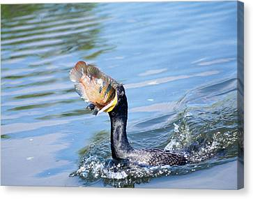 Usa, Florida Cormorant Swallowing Canvas Print by Jaynes Gallery