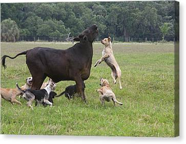 Usa, Florida Dogs Trained To Herd Canvas Print
