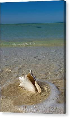 Usa, Florida, Florida Keys, Conch Shell Canvas Print by Chris Parker