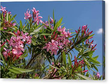 Usa, Florida, New Smyrna Beach, Oleander Canvas Print by Lisa S. Engelbrecht