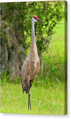 Usa, Florida Sandhill Crane (grus Canvas Print by Michael Defreitas