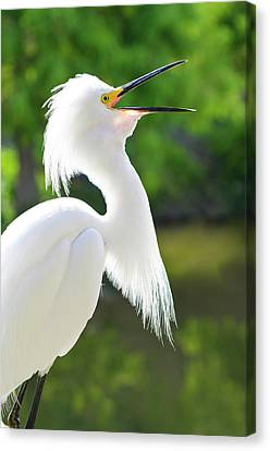 Usa, Florida Snowy Egret (egretta Thula Canvas Print