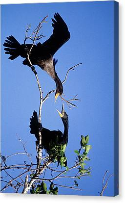 Double-crested Cormorant Canvas Print - Usa, Florida Two Double-crested by Jaynes Gallery