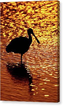 Spoonbill Canvas Print - Usa, Florida, Vierra Wetlands by Jaynes Gallery