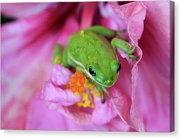 Usa, Georgia, Savannah, Green Frog Canvas Print by Joanne Wells