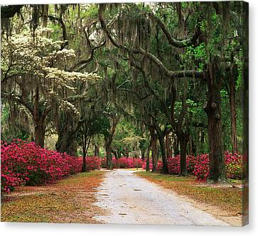 Usa, Georgia, Savannah, Road Lined Canvas Print