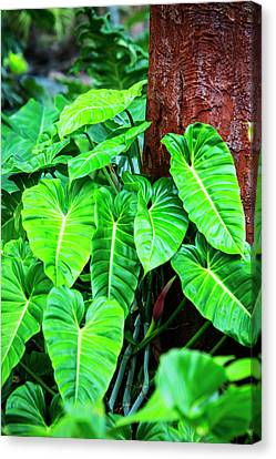 Philodendron Canvas Print - Usa, Hawaii, Oahu, Philodendrons by Terry Eggers