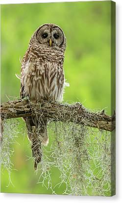 Usa, Louisiana Barred Owl On Tree Limb Canvas Print