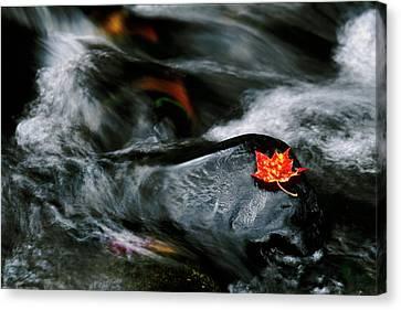 Usa, Maine Maple Leaf On Black Rock Canvas Print