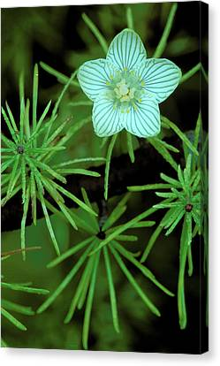 Usa, Michigan, Grass Of Parnassus Canvas Print by Jaynes Gallery