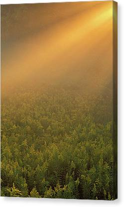 Usa, Michigan, Meadow Of Goldenrod Canvas Print by Jaynes Gallery