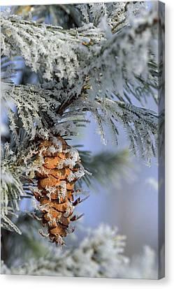 Usa, Michigan, Morning Light On Balsam Canvas Print