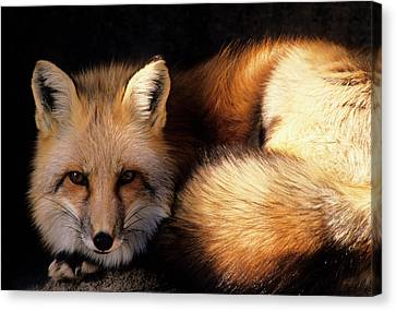 Usa, New Mexico, Red Fox Canvas Print by Gerry Reynolds