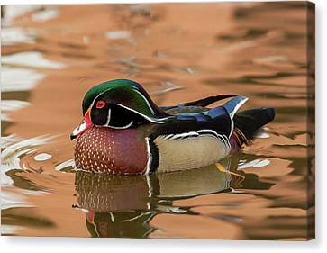 Usa, New Mexico Wood Duck Swimming Canvas Print