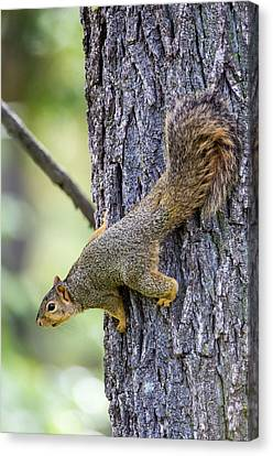 Fox Squirrel Canvas Print - Usa, Ogle County, Illinois, Eastern Fox by Elizabeth Boehm