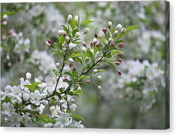 Usa, Ohio Cherry Blossom Branch Canvas Print by Jaynes Gallery