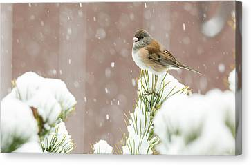 Usa, Oregon, Keizer, Dark-eyed Junco Canvas Print by Rick A Brown
