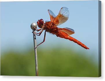 Usa, Oregon, Keizer, Male Flame Skimmer Canvas Print by Rick A Brown