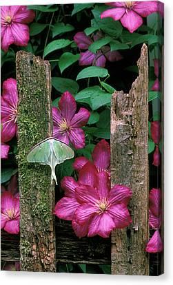 Usa, Pennsylvania, Luna Moth On Fence Canvas Print by Jaynes Gallery
