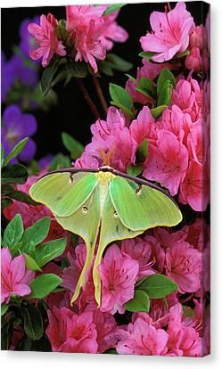 Usa, Pennsylvania, Luna Moth On Pink Canvas Print by Jaynes Gallery