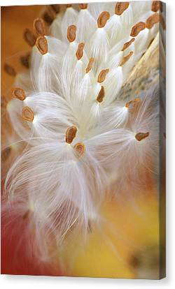 Usa, Pennsylvania, Milkweed Opening Canvas Print by Jaynes Gallery