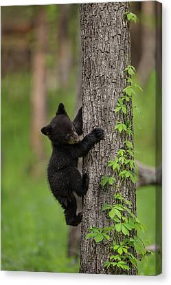 Usa, Tennessee Black Bear Cub Climbing Canvas Print by Jaynes Gallery